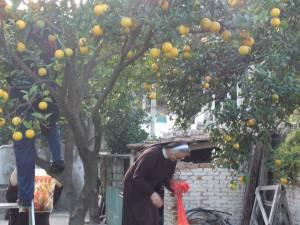 DSCN3901 300x225 - Branje naranči u franjevačkom vrtu u Cavtatu