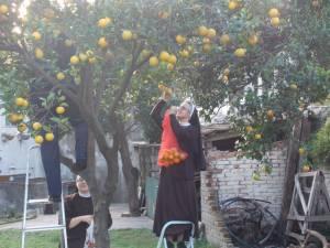 DSCN3902 300x225 - Branje naranči u franjevačkom vrtu u Cavtatu