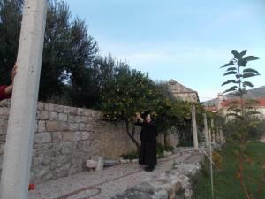 DSCN3903 300x225 - Branje naranči u franjevačkom vrtu u Cavtatu