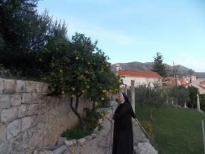 DSCN3905 300x225 - Branje naranči u franjevačkom vrtu u Cavtatu