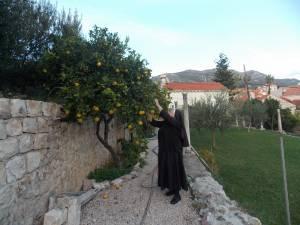 DSCN3906 300x225 - Branje naranči u franjevačkom vrtu u Cavtatu