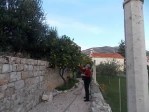 DSCN3907 300x225 - Branje naranči u franjevačkom vrtu u Cavtatu